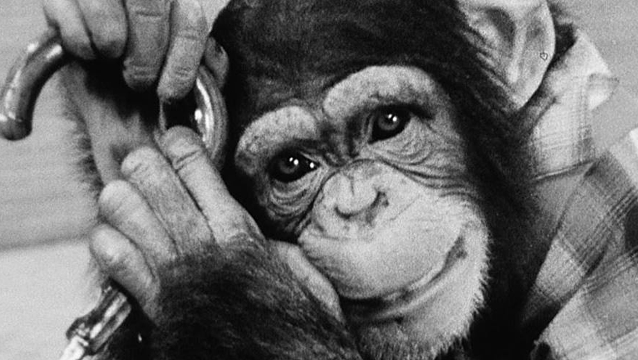 """""""Chatting to a Chimp in Chimpanzee:"""" A Look at Donna McRae's Cobby: The Other Side of Cute (2018)"""